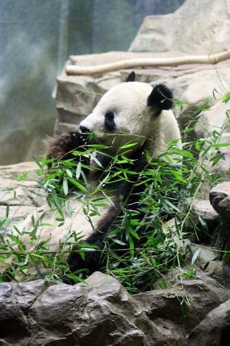 One of the main attractions at the National Zoo... panda bears!