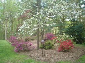 Our Azalea Garden in Bloom