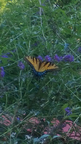 A beautiful butterfly showing off just for me!