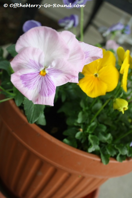 """""""Pray you, love, remember. And there is pansies, that's for thoughts."""" - Shakespeare"""