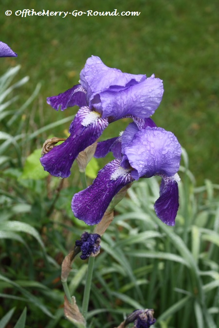 Several of our bloggers have recently written about family ties. These irises are very special to me, as they are the same ones that grew in my great-grandmother's garden. A wonderful reminder of her!