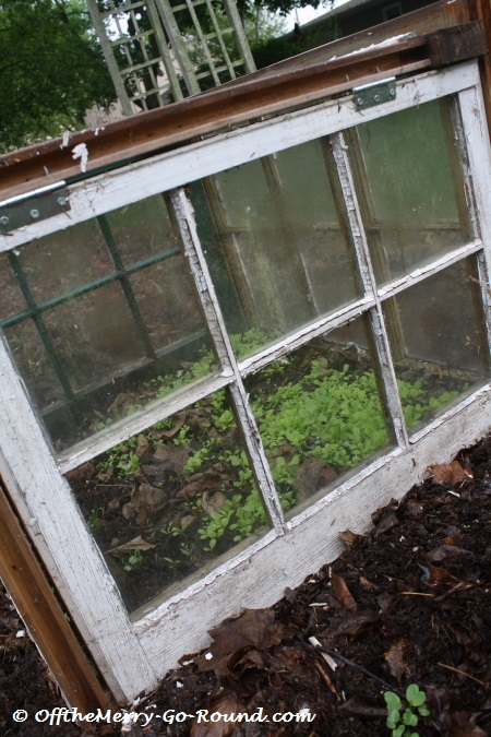 "My husband built me this little ""greenhouse"" from our home's old windows. The top window is hinged so that it can be opened. It's the perfect place to grow spring lettuce!"